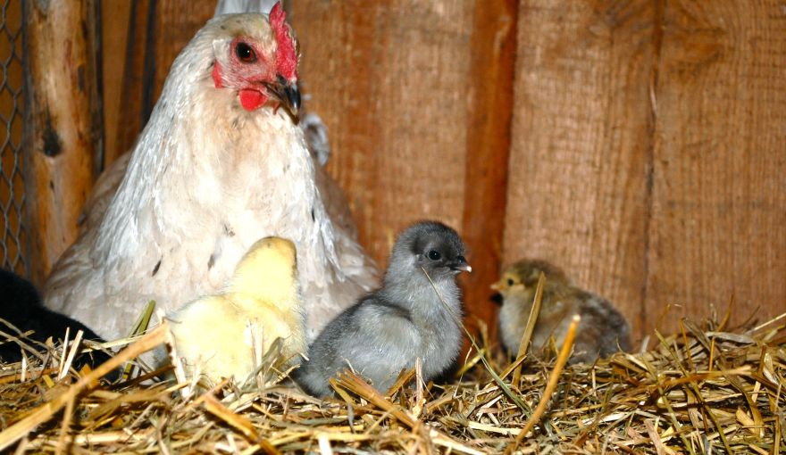 kyllinger2